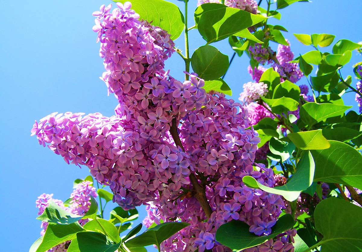 Now Lilacs Are Blooming In March >> Planting Lilac Bushes How To Grow Them The Garden Glove