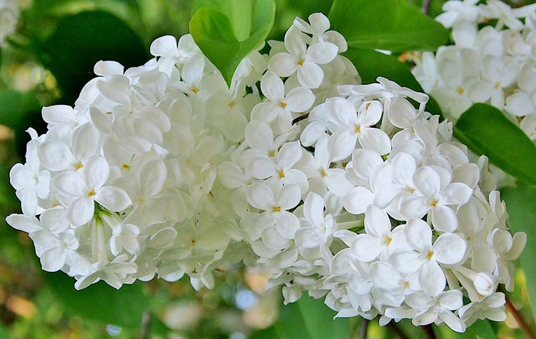 Planting Lilac Bushes Amp How To Grow Them The Garden Glove