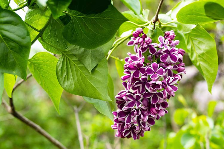 Planting Lilac Bushes How To Grow Them The Garden Glove