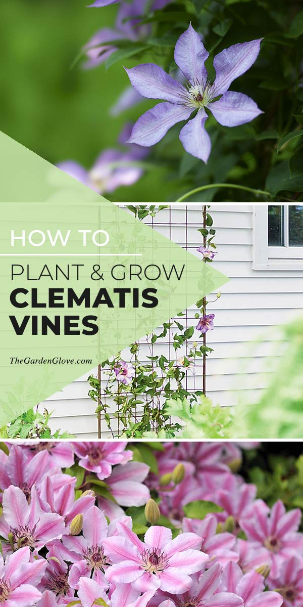 How To Grow & Plant Clematis Vines