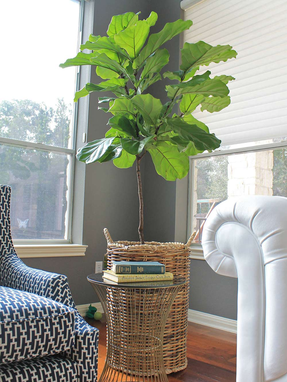 Fiddle Leaf Fig - Caring For This Trendy Houseplant