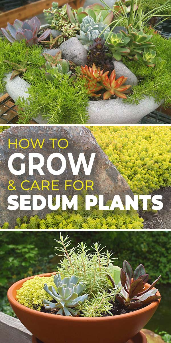 How to Grow & Care for Sedum Plants