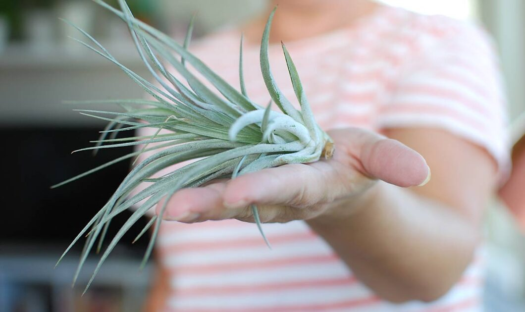 How To Water & Care For Air Plants