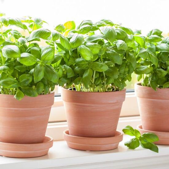 Growing Basil (Indoors & Out!)